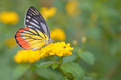 Butterfly flowers Royalty Free Stock Photo