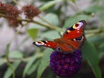 Aglais io butterfly Stock Photos