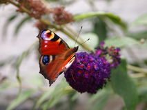 Aglais io butterfly Royalty Free Stock Image