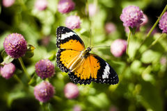 Butterfly Flowers. In the garden , Globe amaranth stock photography