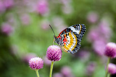 Butterfly Flowers. In the garden , Globe amaranth stock photos