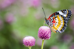 Butterfly Flowers. In the garden , Globe amaranth stock image