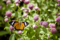 Butterfly Flowers. In the garden , Globe amaranth royalty free stock photos
