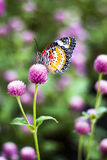 Butterfly Flowers. In the garden , Globe amaranth royalty free stock photography