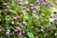 Butterfly Flowers. In the garden , Globe amaranth stock images