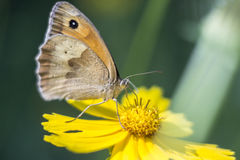 Butterfly on a flowers. The butterfly has sat down on a yellow flower and collects pollen Stock Images