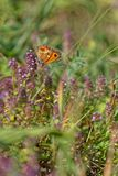 Butterfly on flowers in the meadows of french alps