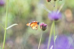 Butterfly on flowers. Monarch Butterfly Danaus plexippus on a flower in a meadow in the summer royalty free stock photography
