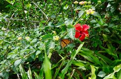 Butterfly among flowers. Monarch butterfly getting fed among royalty free stock image