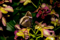 Butterfly with flowers. A butterfly with orchid flowers Stock Images