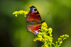 Butterfly on Flowers. Red northern butterfly sitting over wild yellow flowers during a sunny day royalty free stock images
