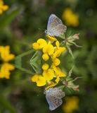 Butterfly on flowers and reflection Stock Image