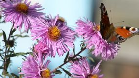 Butterfly on flowers stock video footage