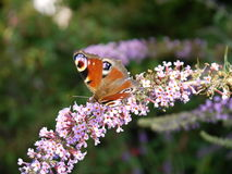 Butterfly on Flowers. A butterfly sitting on a stem of pink flowers Stock Photography