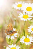 Butterfly and Flowers in Spring. A butterfly on a flower in the sun Royalty Free Stock Photography