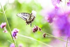 Butterfly on flowers. Summer field, a beautiful butterfly Royalty Free Stock Photo