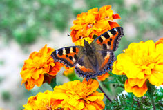 Butterfly on flowers. Butterfly with wings spread on marigold flowers royalty free stock photo