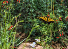 Butterfly among flowers. Yellow-black butterfly among flowers in the garden, feeding with pollen royalty free stock photos