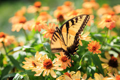 Butterfly Fluttering Flight Peach Flowers Stock Photography