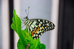 Butterfly fly in the Garden. Closeup butterfly on flower (Common tiger butterfly Royalty Free Stock Photo