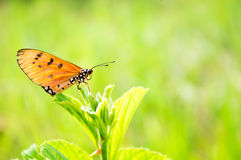 Butterfly fly on green leaf Royalty Free Stock Photo