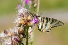 Butterfly fly in morning nature. Natural composition Stock Images