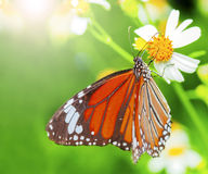 Butterfly fly Stock Photo