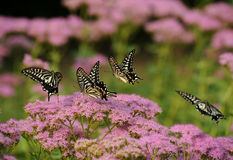 Butterfly flying. 4 butterfly in flower fly, chase play stock photography