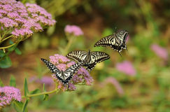 Butterfly flying Royalty Free Stock Photos