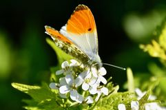 The butterfly is a flying flower, The flower a tethered butterfly stock photography