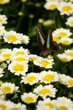 The butterfly flying from flower to flower Stock Photo