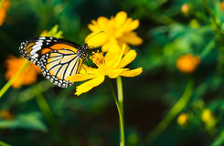 The butterfly flying from flower to flower Royalty Free Stock Image