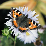Butterfly flying on marigold flower.  Stock Photo