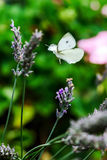 Butterfly flying over lavender flowers Royalty Free Stock Photography