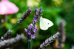 Butterfly flying over lavender flowers Royalty Free Stock Images