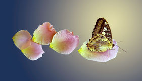 Butterfly and flying petal of the rose. On yellow-blu background stock photo