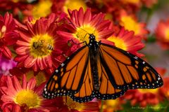 Butterfly Feeding on Flowers. Butterfly flying a round the flower in the city Royalty Free Stock Images