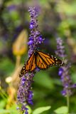 Butterfly Feeding on Flowers. Butterfly flying a round the flower in the city Royalty Free Stock Photo