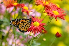 Butterfly Feeding on Flowers. Butterfly flying a round the flower in the city Stock Images