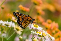 Butterfly Feeding on Flowers. Butterfly flying a round the flower in the city Stock Photography