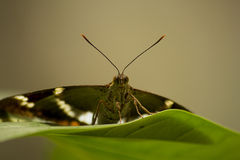 A Butterfly royalty free stock image