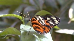 Butterfly folding wings. Video of butterfly folding wings stock footage