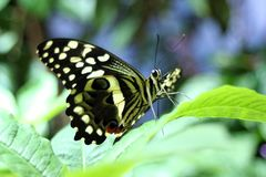Butterfly Foliage. Yellow and black butterfly on foliage Stock Image