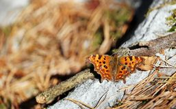 Butterfly in Fontainebleau forest Stock Photos