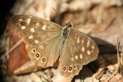 Butterfly on the  forest bed Royalty Free Stock Photo
