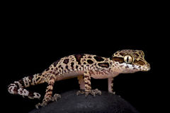Butterfly forest gecko, Cyrtodactylus papilionoides. The butterfly forest gecko, Cyrtodactylus papilionoides, is a brightly colored, nocturnal lizard species Stock Photography