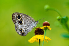 Butterfly with four eyes Stock Photo