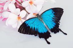 Butterfly on frangipani. Beautiful blue Papilio ulysses butterfly on pink and white frangipani flowers stock image