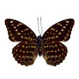 Butterfly : French Duke. Euthalia Francine Stock Photos