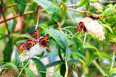 Butterfly frenzy Stock Image